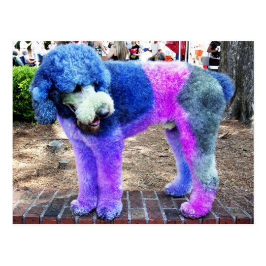 Colourful Poodle Postcard