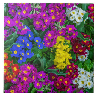 Colourful primroses ceramic photo tile