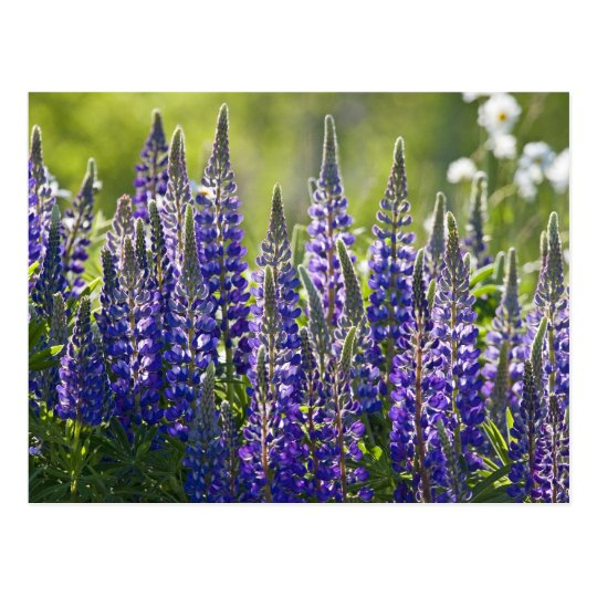 Colourful Spring Lupines Postcard