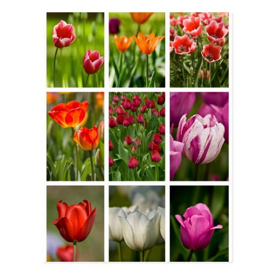 Colourful Tulips Postcard