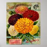 Colourful Vintage Dahlia Flowers Poster