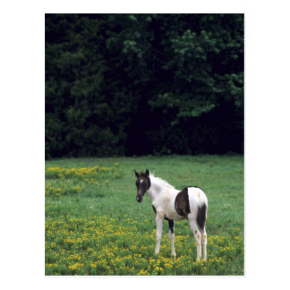 Colt grazing in a pasture with yellow flowers. postcard