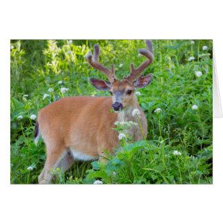 Columbia Black-tailed deer Card