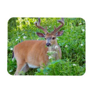 Columbia Black-tailed deer Magnet