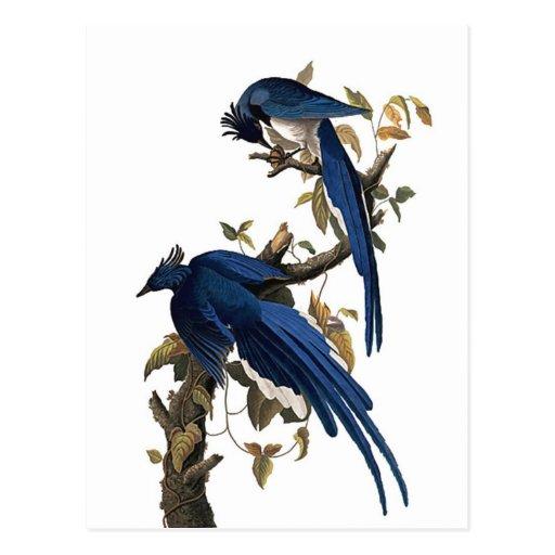 Columbia Jay | John James Audubon Postcard
