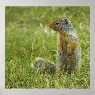 Columbian Ground Squirrel Poster