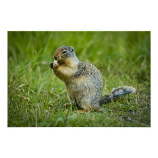 Columbian Ground Squirrel Print
