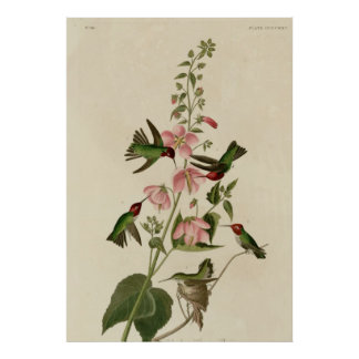 Columbian Hummingbird Print