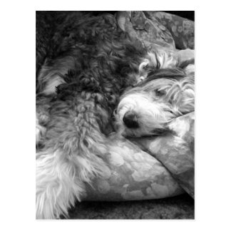 Comfortable Snooze Old English Sheepdog Post Card