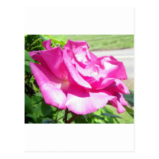 Coming up Roses Post Cards