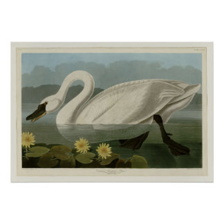 Common American Swan Poster