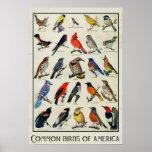 Common Birds of America Antique Bird Print