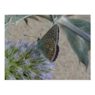 Common Blue Butterfly on Sea Holly Postcard