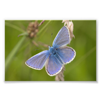 Common Blue Butterfly Photo Print
