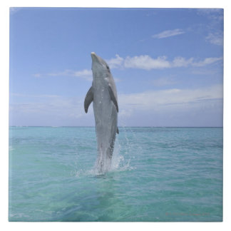 Common Bottlenose Dolphin Swimming Backwards on Large Square Tile