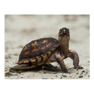 Common box turtle postcard