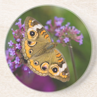 Common Buckeye Coaster
