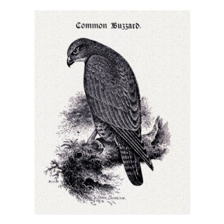 """Common Buzzard"" Vintage Illustration Postcard"
