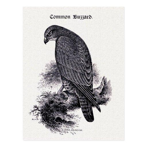 """Common Buzzard"" Vintage Illustration Postcards"