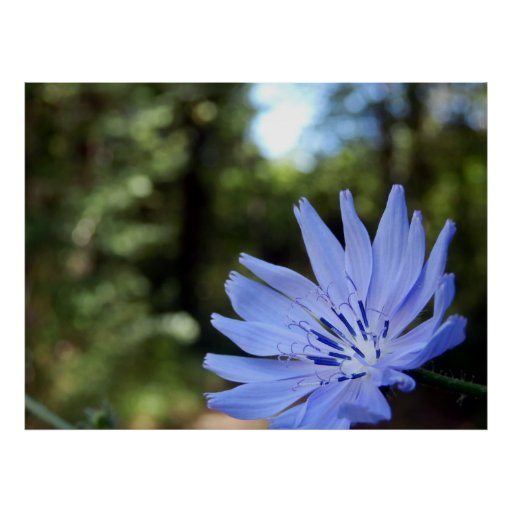 Common Chicory Poster
