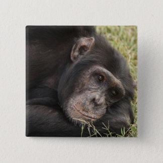 Common Chimpanzee posing resting 15 Cm Square Badge