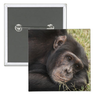 Common Chimpanzee posing resting 15 Cm Square Badge