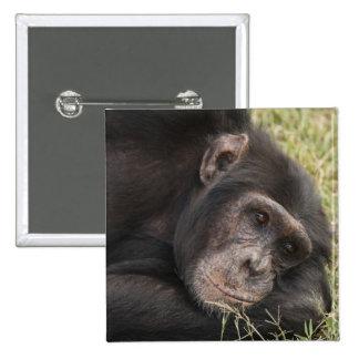 Common Chimpanzee posing resting Pinback Button