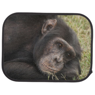 Common Chimpanzee posing resting Car Mat