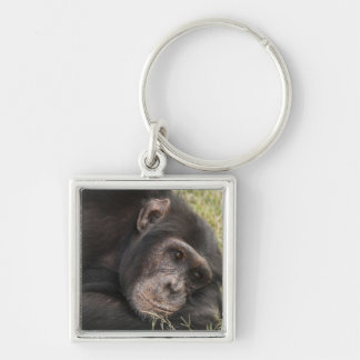 Common Chimpanzee posing resting Keychains