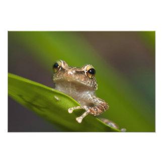 Common coqui, Eleutherodactylus coqui, El Photo Print