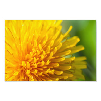 common dandelion photo print