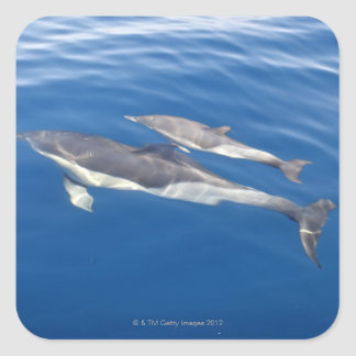 Common Dolphin in the strait Square Sticker