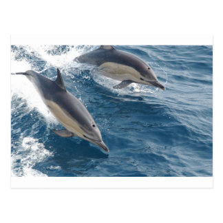 common-dolphins-914 postcard