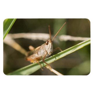 Common Field Grasshopper Magnet