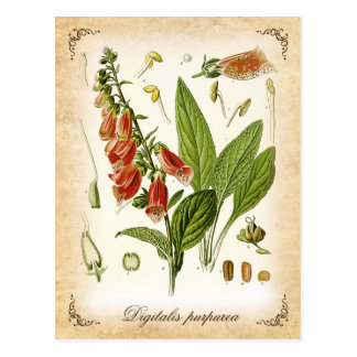 Common Foxglove - vintage illustration Postcard