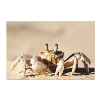 Common Ghost Crab (Ocypode Cordimana) Canvas Print