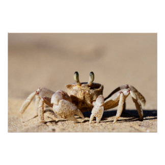 Common Ghost Crab (Ocypode Cordimana) Poster