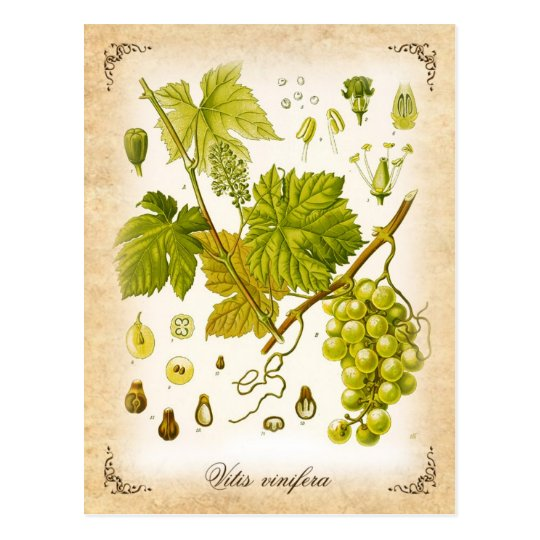 Common Grape Vine - vintage illustration Postcard