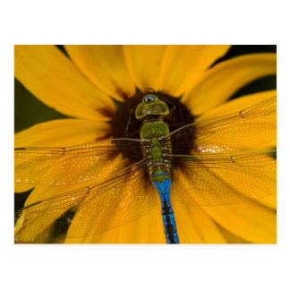 Common Green Darner male on Black-eyed Susan Postcard