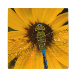 Common Green Darner male on Black-eyed Susan Wood Coaster