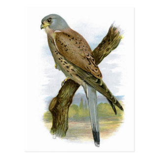 Common Kestrel - Falco tinnunculus Postcard