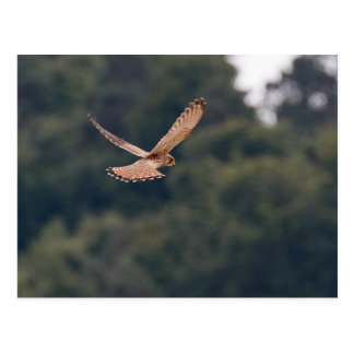 Common Kestrel hovering in search of prey Postcard