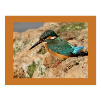 Common Kingfisher Postcard