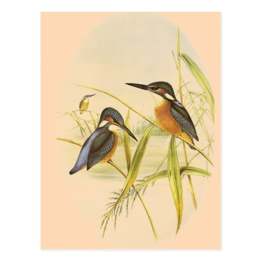 Common Kingfisher Post Card