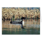 Common Loon on Water Card