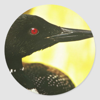 Common Loon Round Sticker