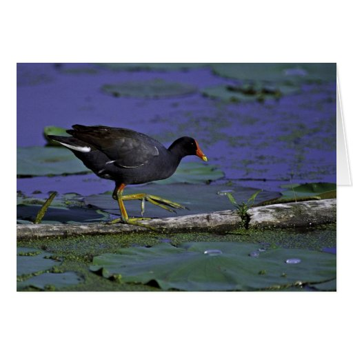 Common Moorhen at Squaw Creek National Wildlife Re Greeting Card
