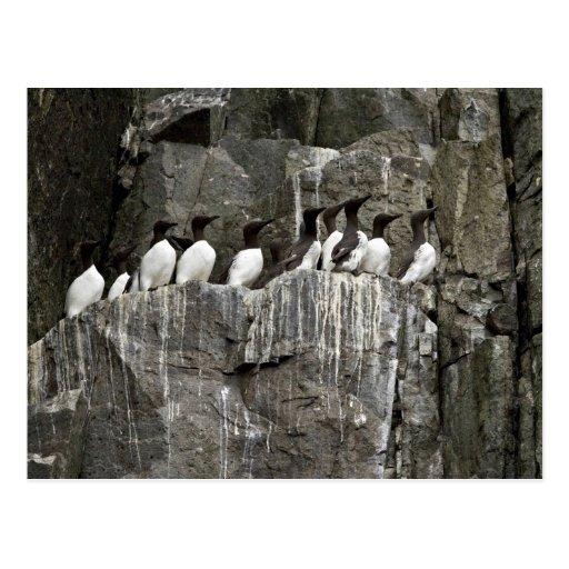 Common Murres, Castle Rock, Shumagin Islands Postcards