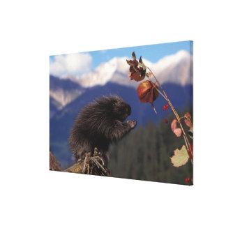 Common porcupine eating Alaskan high brush Canvas Print