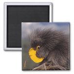 common porcupine, Erethizon dorsatum, baby Magnet